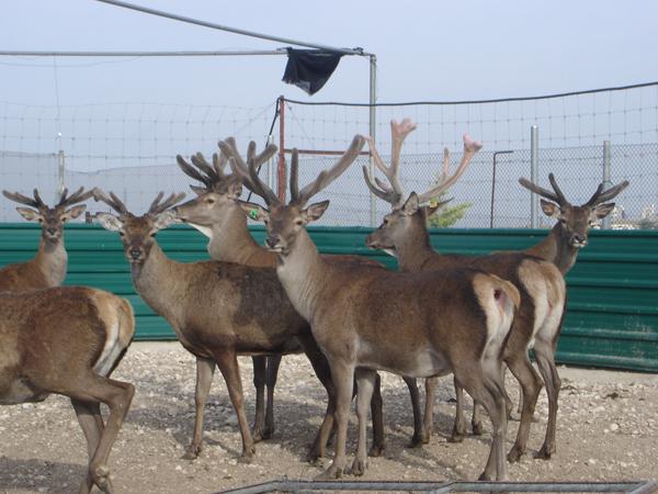 La mejor granja experimental de ciervos de Europa… ¡está en Albacete ...