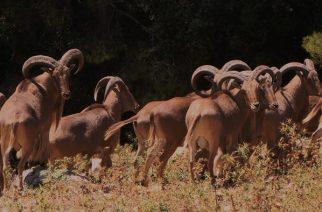 Murcia mantiene el coto de Sierra Espuña y permite cazar arruí