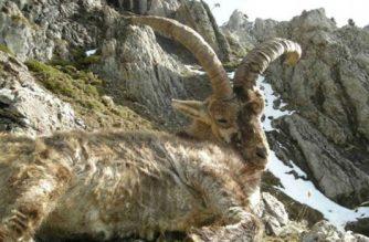 La asociación denuncia que la sarna acaba con toda la caza