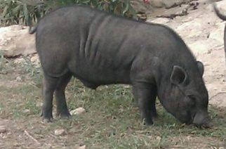 El cerdolí, ya en zonas urbanas de Asturias
