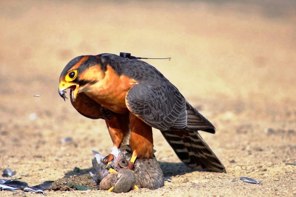 cetrería perú paloma madrugadora