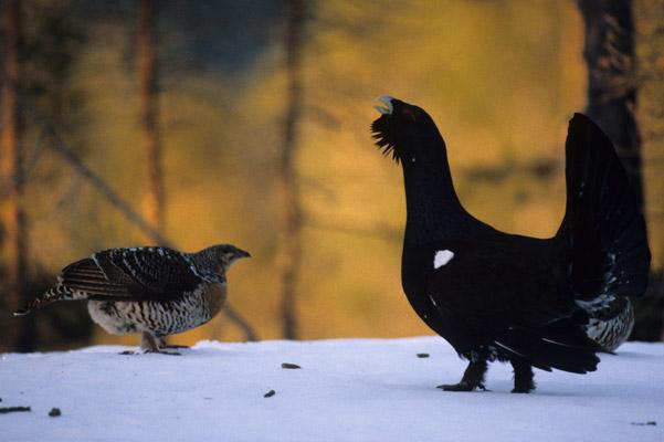Un urogallo macho intentando impresionar a una hembra con sus dotes de canto. Fotografía de Lars Løfaldli.