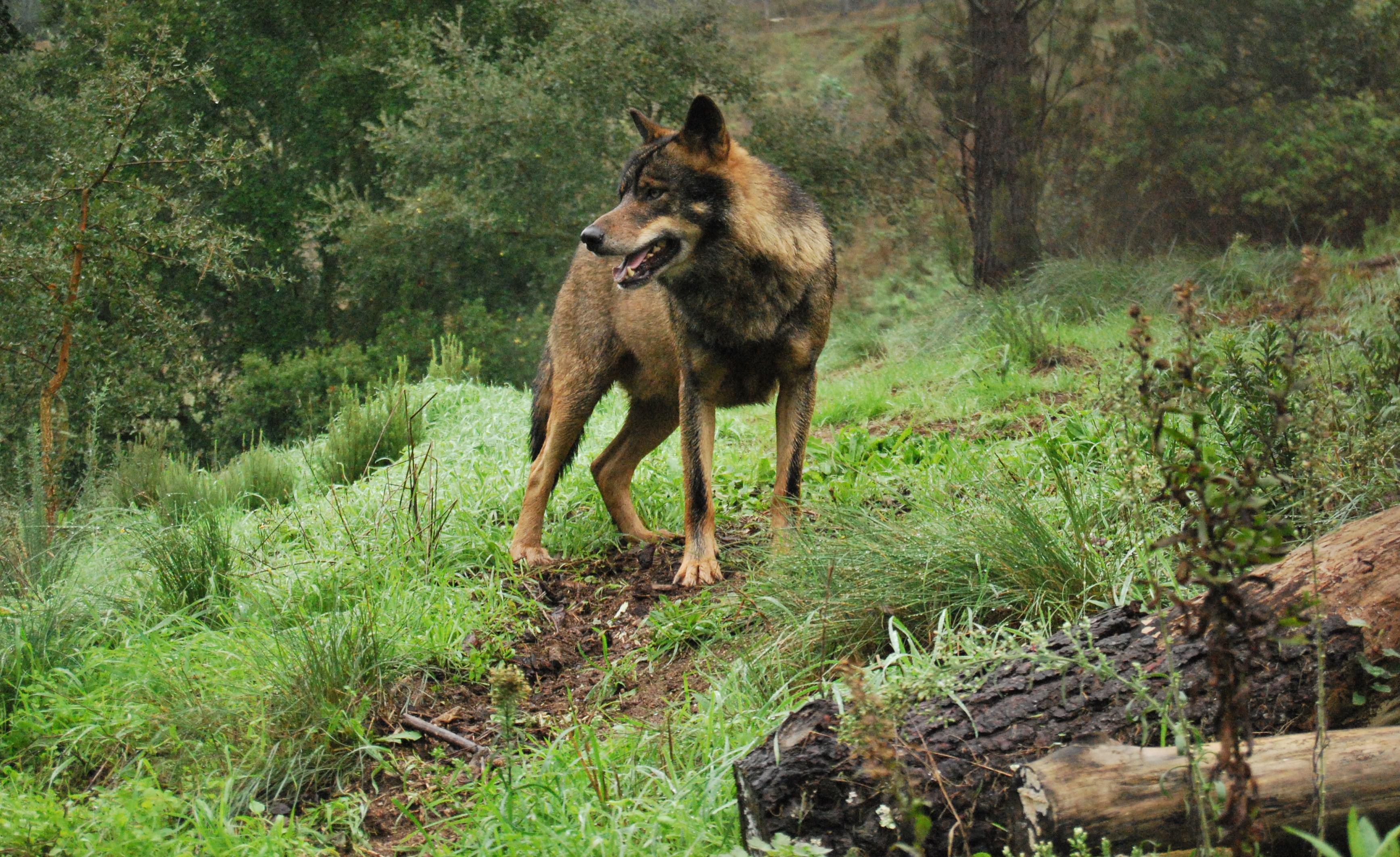 Francia creará un equipo de cazadores para proteger los rebaños del lobo