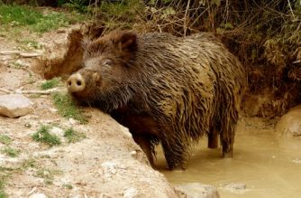 Europa apenas vigila la tuberculosis bovina en la fauna silvestre