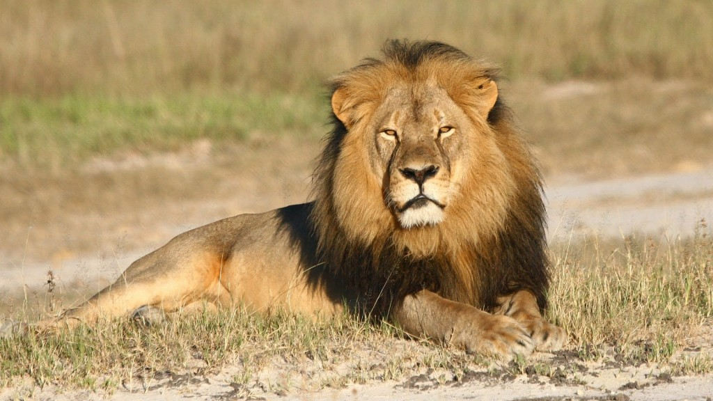 Travesty Cecil The Lion Was Killed By An American Dentist Ap