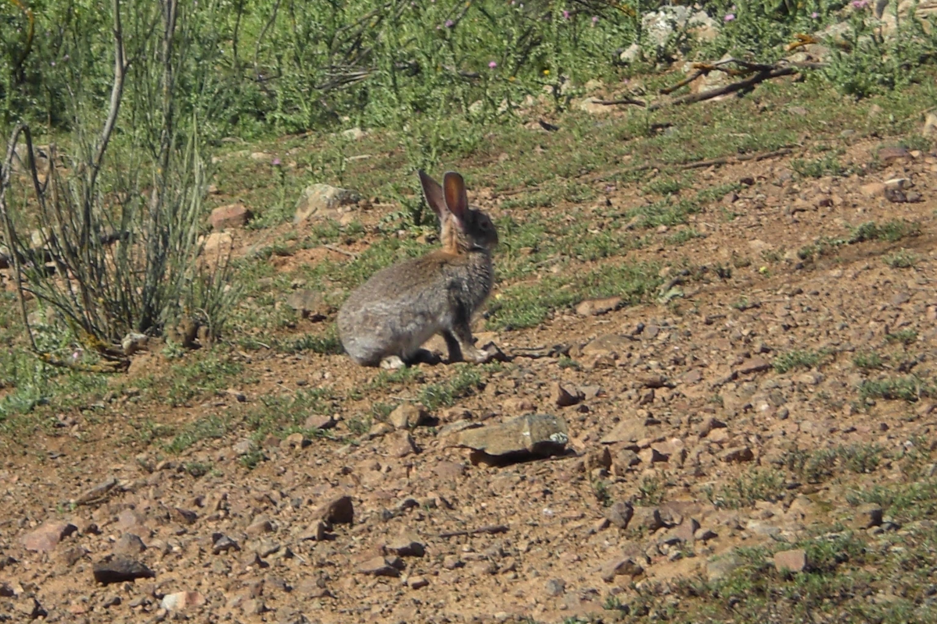 El conejo de monte sí es importante