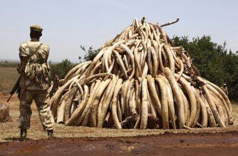 Prohibir el marfil puede ser desastroso para los elefantes