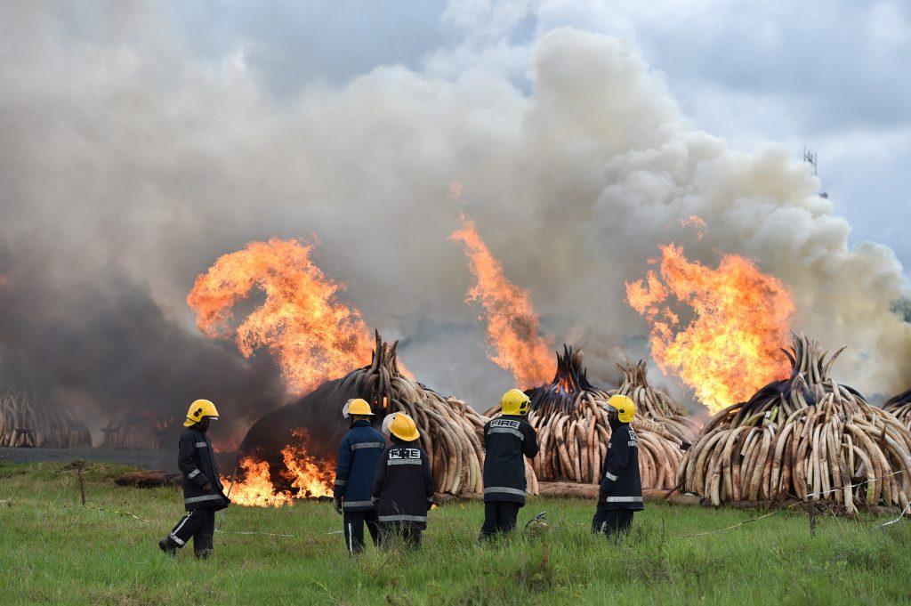 NAIROBI, abril 30, 2016 (Xinhua) -- Bomberos resguardan el fuego durante una incineración de marfil y cuernos de rinoceronte, en Nairobi, Kenia, el 30 de abril de 2016. Kenia incineró el sábado al menos 105 toneladas de marfil y 1.3 toneladas de cuernos de rinoceronte para reforzar el compromiso de Kenia de erradicar la amenaza de la caza furtiva. (Xinhua/Sun Ruibo) (jp) (fnc)
