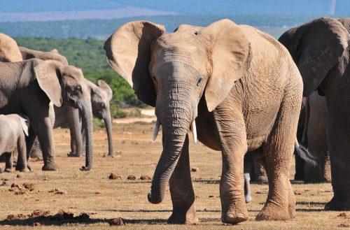 Malaui reubica a más de 500 elefantes para protegerlos del furtivismo