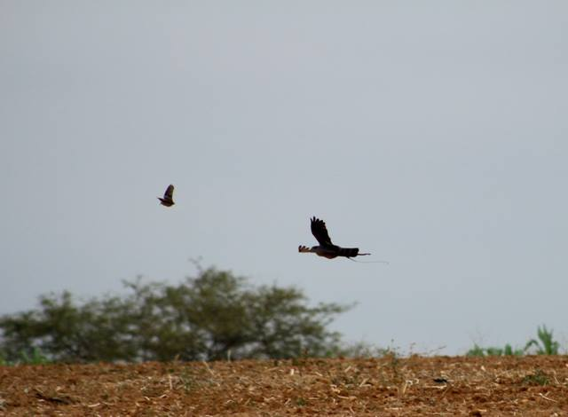 3 cetreria aves de Peru y Chile