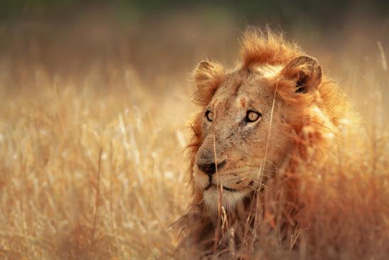 EEUU prohíbe importar de Sudáfrica trofeos de leones en cautividad