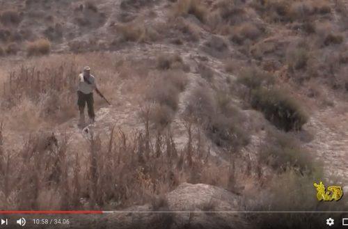 La caza de conejos en esparteras por tierras murcianas