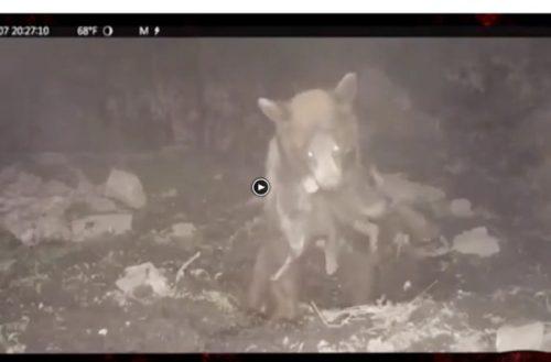 Impactante vídeo de un oso cazando jabatos a la carrera