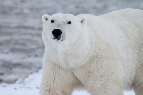 El SCI logra dejar al oso polar fuera de la CoP17 de CITES