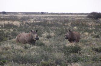 La WRSA pide apoyar a Swazilandia para legalizar el cuerno de rino