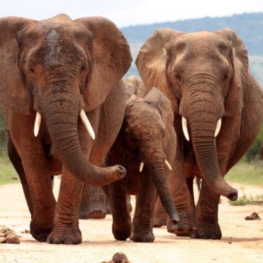caza de elefantes