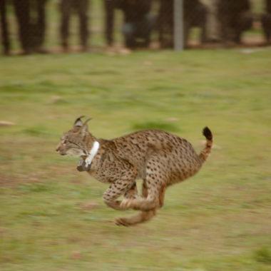 rectificacion-por-acusar-cazadores-de-matar-linces