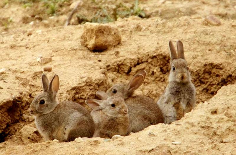 plaga de conejos