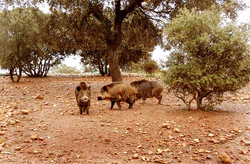 la caza del jabalí