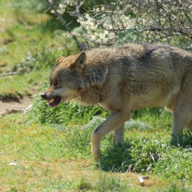 Álava lobo