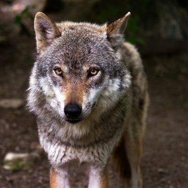 protección del lobo