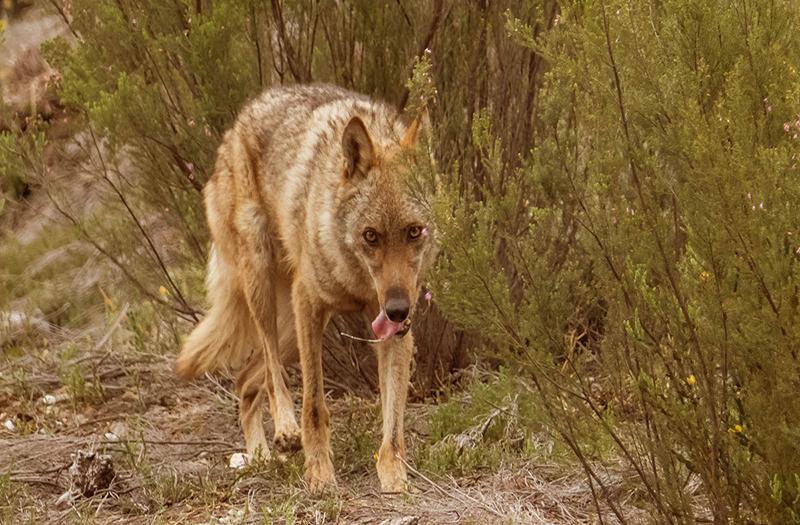 paraiso del lobo
