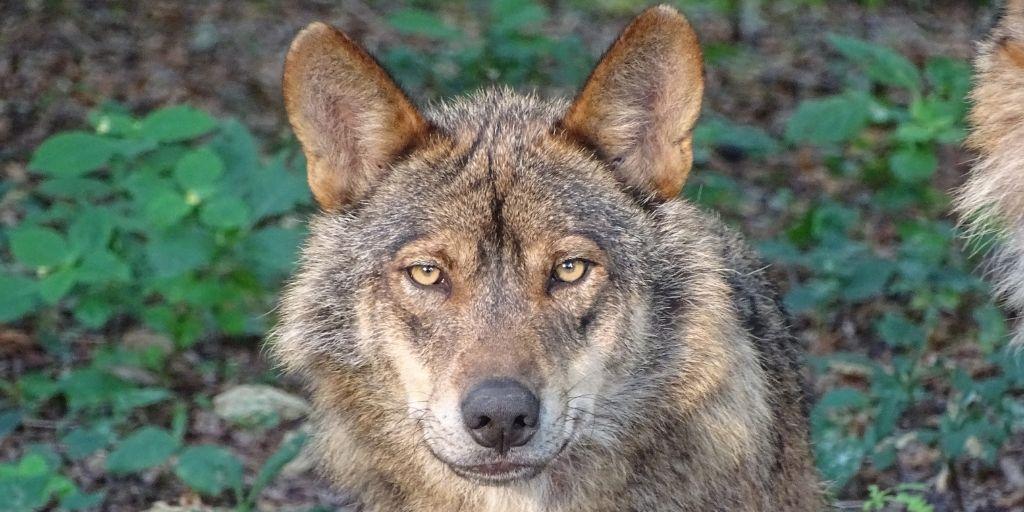 sector primario lobo