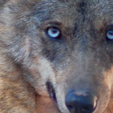 lobo a RFEC