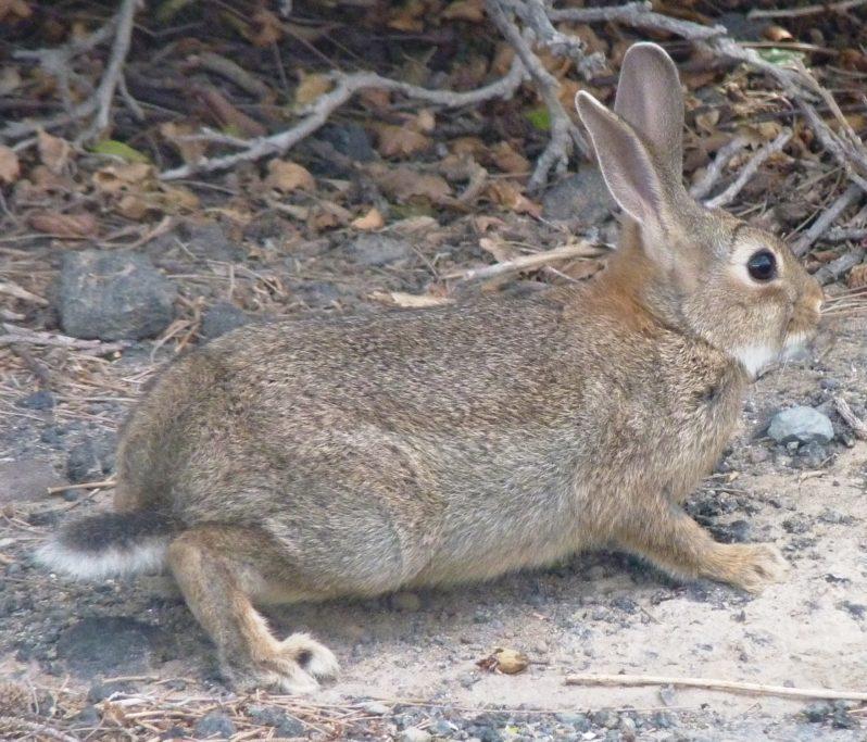 exterminar conejo