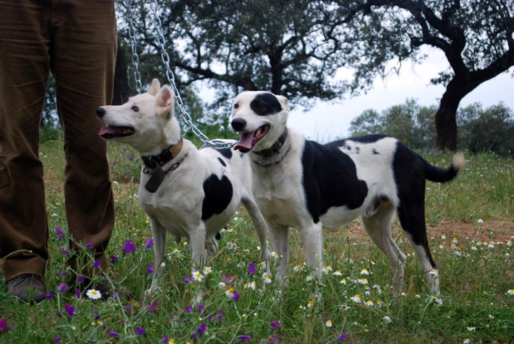 Perros de rehala