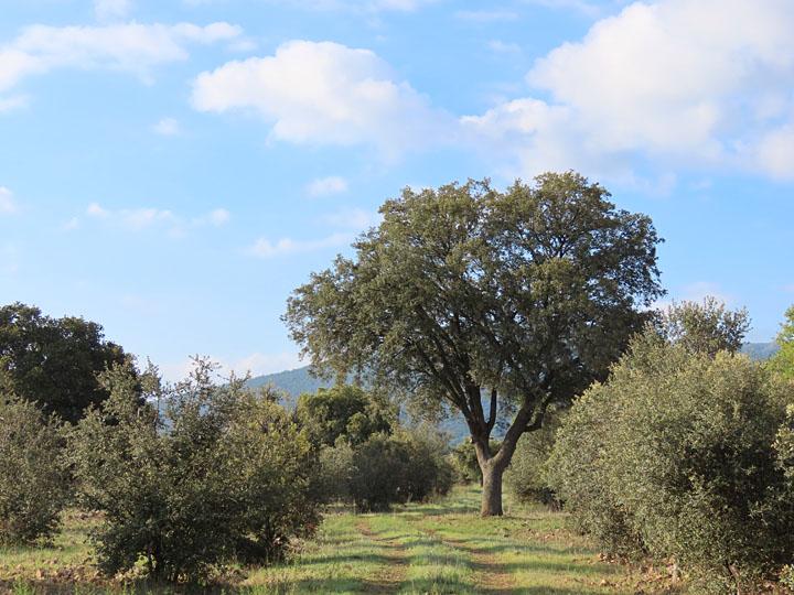 Un corzo en Montes de Toledo