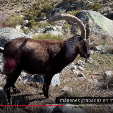 Lobos y Gredos. Artemisan