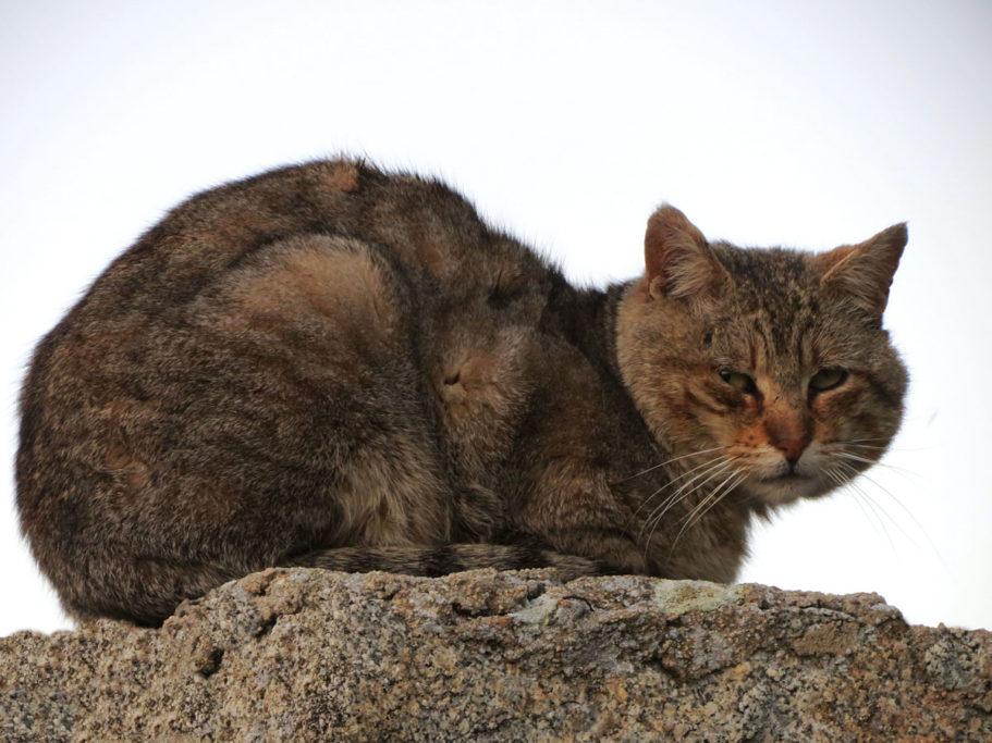 los gatos Artemisan