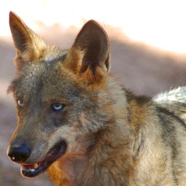 Caza del lobo