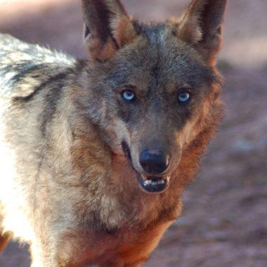 Lobo en caza y safaris